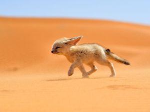 fennec- foxes -morocco_68263_990x742