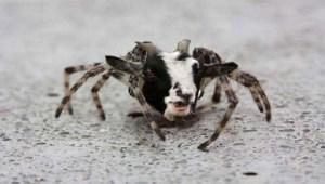 Spider-goat