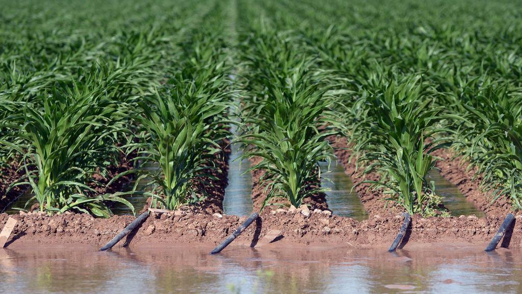 Irrigating a large corn field.