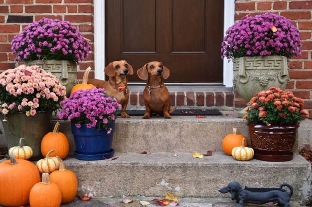 dogs, dachshunds, west hartford, connecticut