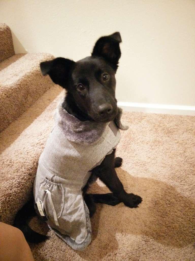 black-dog-in-dress