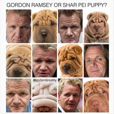 gordon-shar-pei-puppy