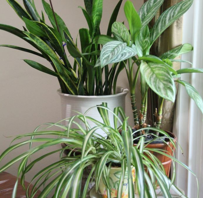Six Reasons Your House Plants are Dying
