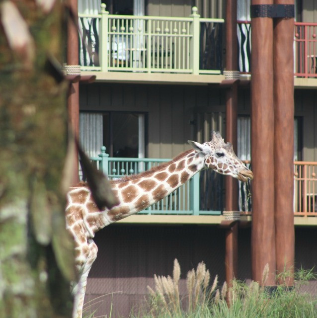 giraffe at animal kingdom lodge