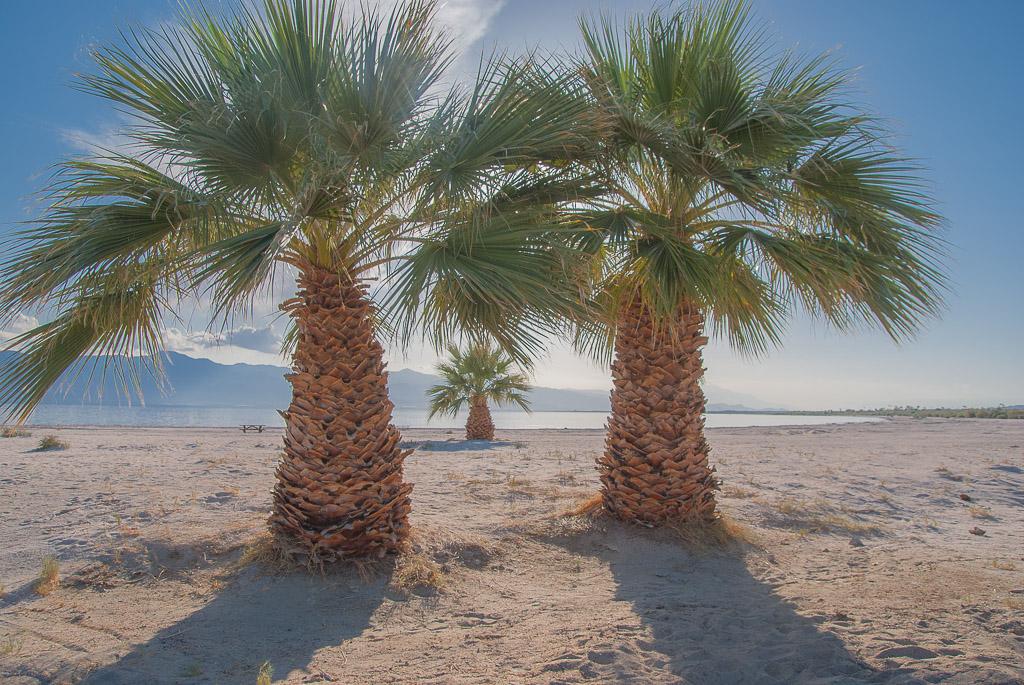 Palms of the Salton Sea