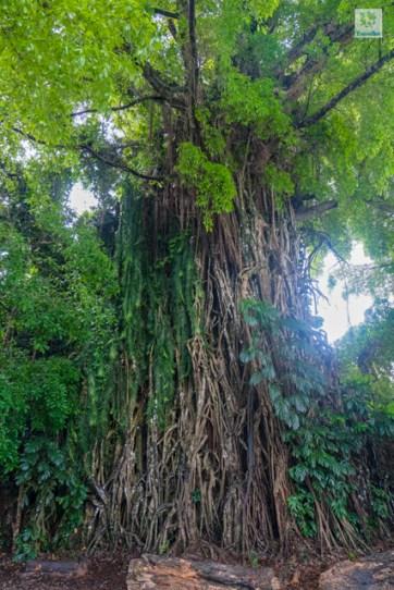 Millennium Balete Tree