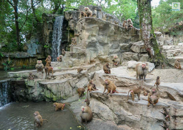 A congress of monkeys at Singapore Zoo.