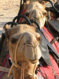 Broome camels - month in the Australian outback