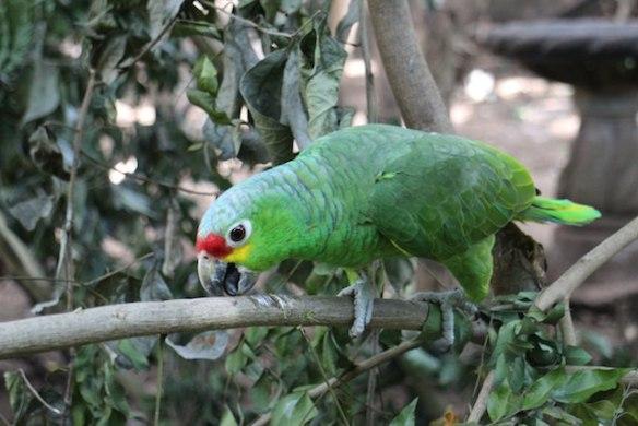 parrots in the garden of La Mariposa Spanish language school Nicaragua