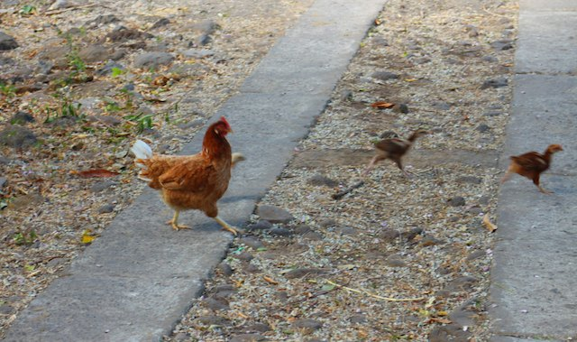 9 travel tips for Nicaragua - mind the chickens