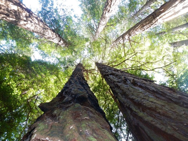 Redwood trees at Muir Woods - Hipmunk