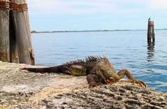 The Gap Year Edit Alternative Travel Awards - most obliging animal in a photo - Iguana, Miami