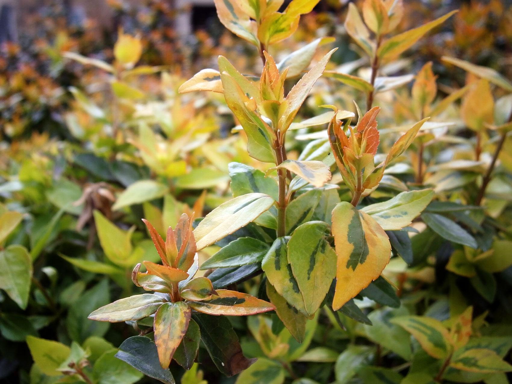 March Plant Of The Month Kaleidoscope Abelia Garden