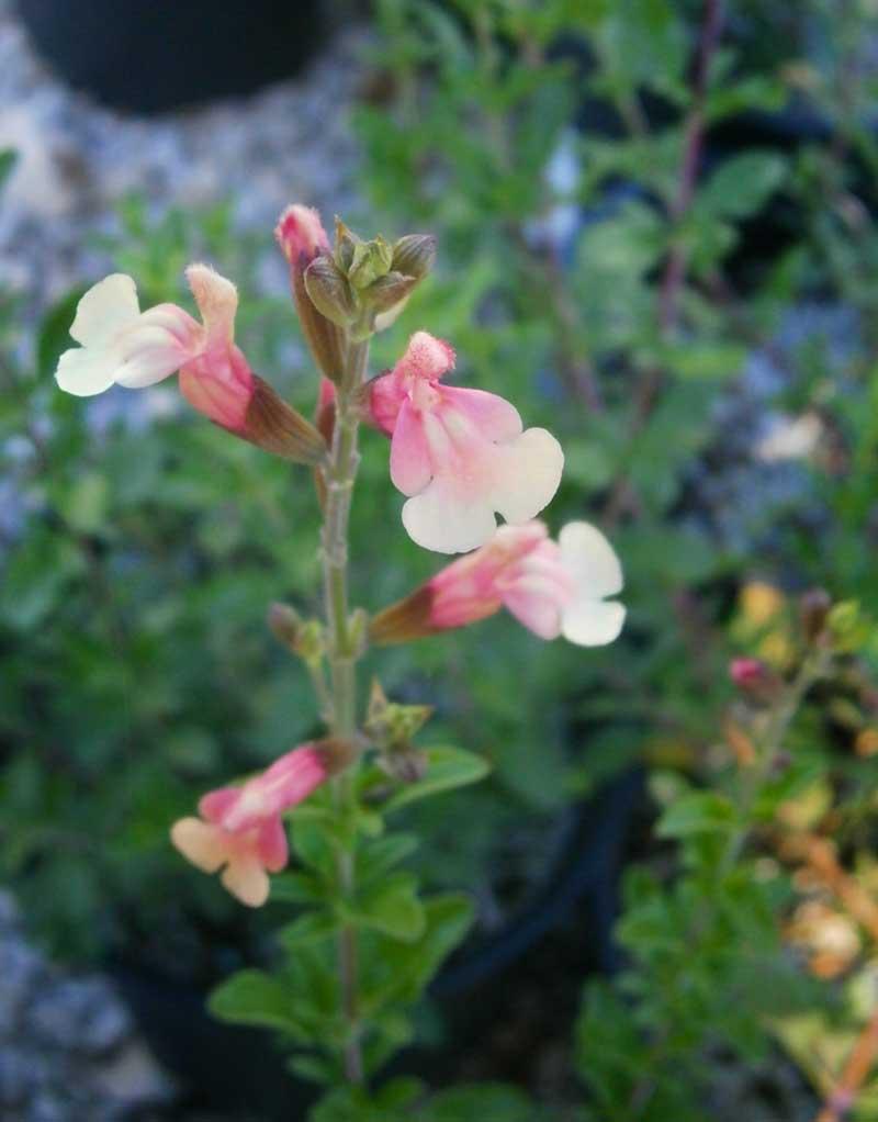 Plant of the Month | Garden Center Nursery San Antonio
