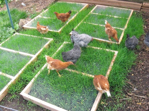 You can grow and protect grass in your chicken yard for them to graze on for months.