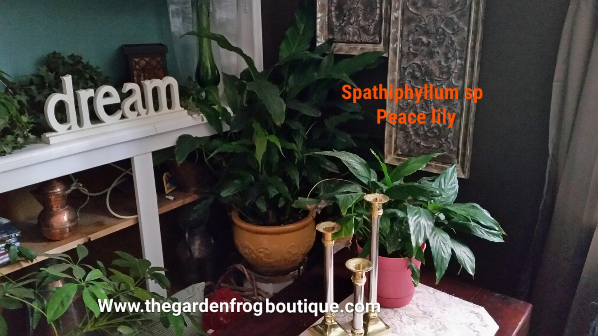 The peace lily is one of the easiest houseplants to grow the i have peace lilies in several rooms in my home all with different degrees of sunlight izmirmasajfo