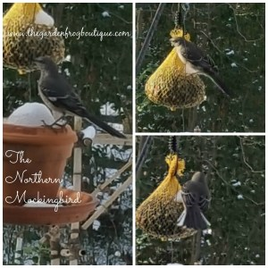 The Northern Mockingbird in my Suburban Backyard