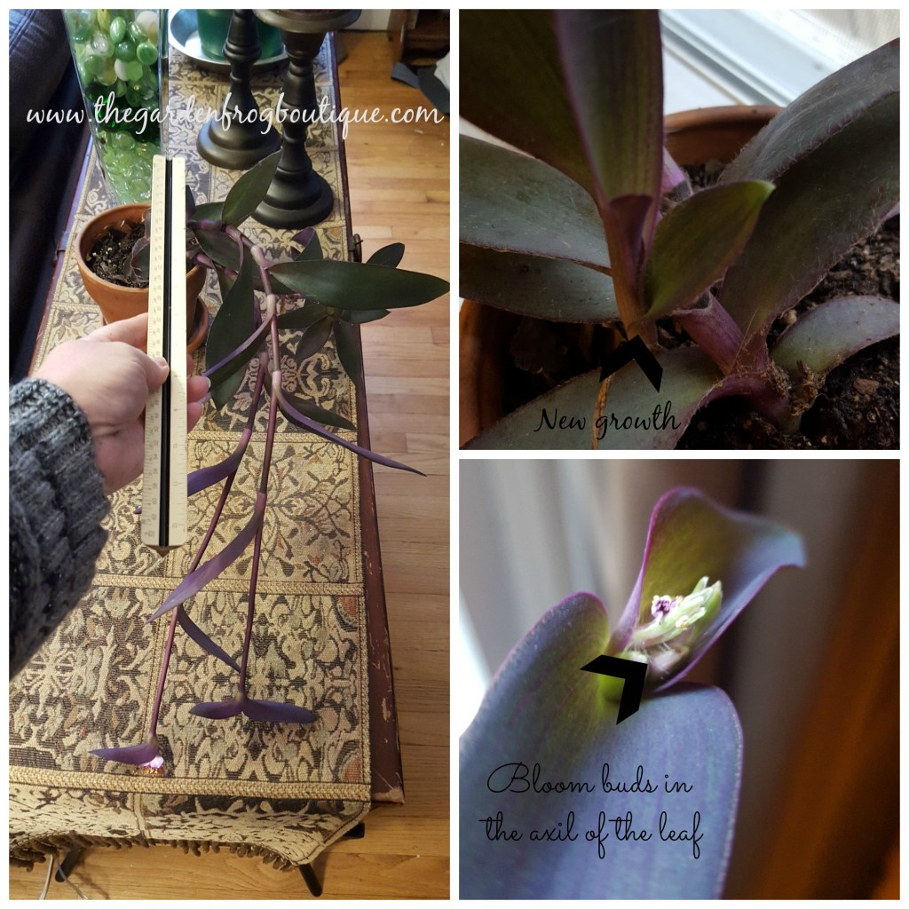 Purple Heart (Tradescantia pallida) Plant, Purple Spiderwort, Purple Queen