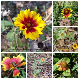 Gaillardia (Blanket Flower) a Native Flower for the Sun Garden, native perennial,