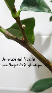 What does armored scale look like? what is that small hard shell spot on branch of my houseplant, How do I get rid of it?