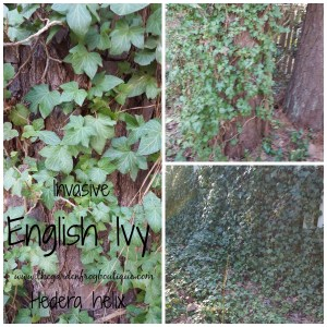 English Ivy an invasive monster in the garden