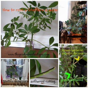 How to root a plant in water, Schefflera, softwood cutting