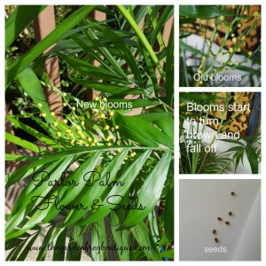 Parlor Palm blooms and seeds