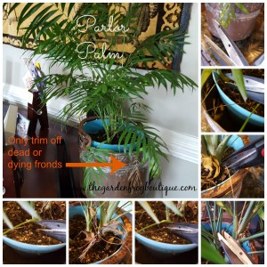 Here's my tips for growing a Parlor Palm houseplant