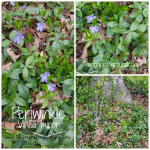Periwinkle (Vinca minor) a groundcover in the shade