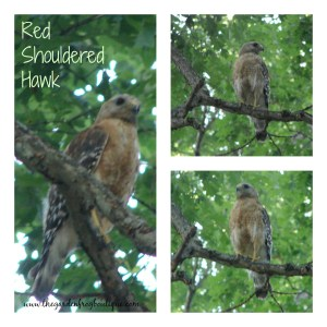 Red Shouldered Hawk, Hawk, SE Virginia Hawk