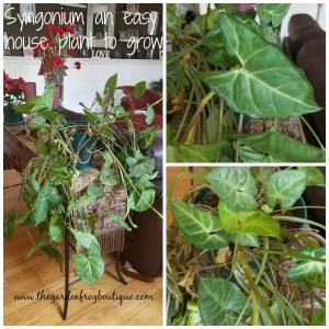 Syngonium an easy trailing house plant to grow for bright indirect light