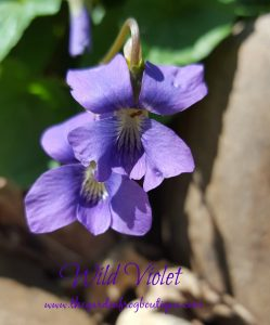 Why I let the wild Violet grow in my garden, Viola spp