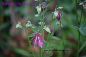 Aquilegia (Columbine) in the garden