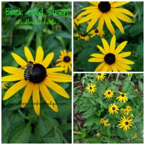 Black Eyed Susans in the garden, native perennial, full sun garden plant