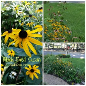 Black Eyed Susan in the garden, perennial for full sun, native