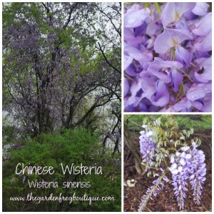 Please do not plant the beautiful and invasive Chinese Wisteria (Wisteria sinesis)