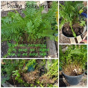 Gardening tip: Dividing Boston Ferns (Nephrolepis exaltata)