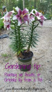 Gardening tip Planting an Asiatic or Oriental Lily from a Pot into the garden