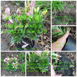 Gardening tip Planting an Asiatic or Oriental Lily from a Pot, garden tip