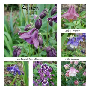 Gardening without the rules, Aquilegia