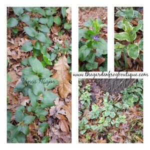 Vinca major in the garden, groundcover, invasive, spiller for container gardening