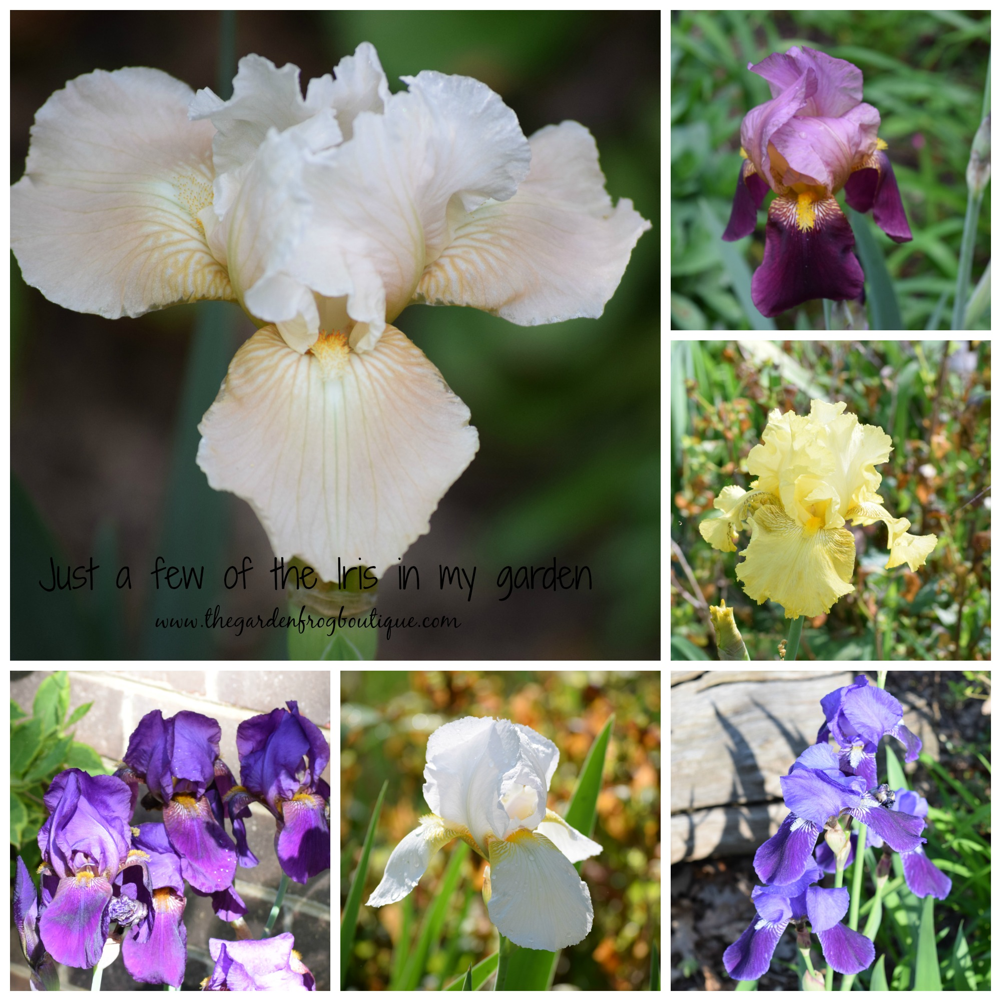 How to Plant Iris The Garden Frog Boutique
