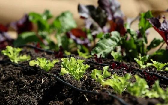 ortaggi in coltivazione nell'orto