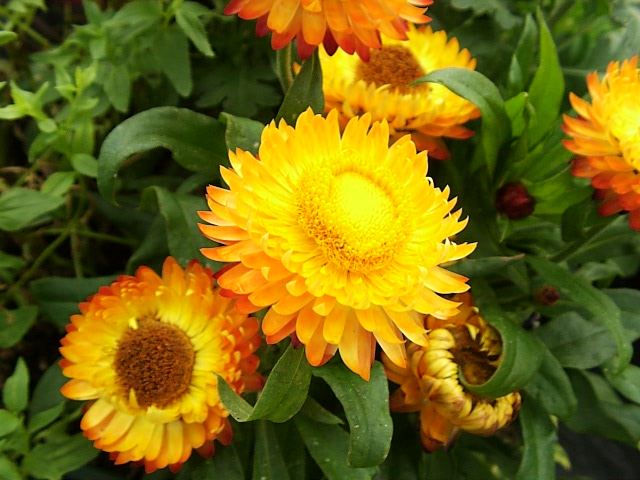Strawflowers Helichrysum bracteatum  Garden Helper Gardening Questions and Answers