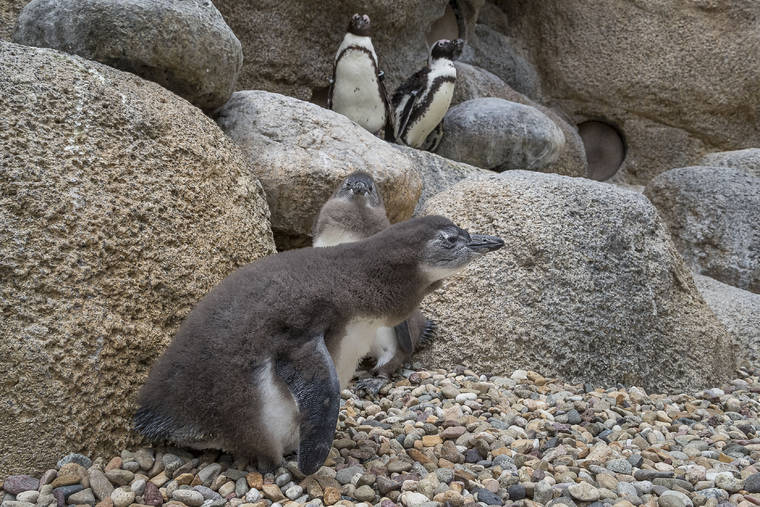 baby penguins hatched at