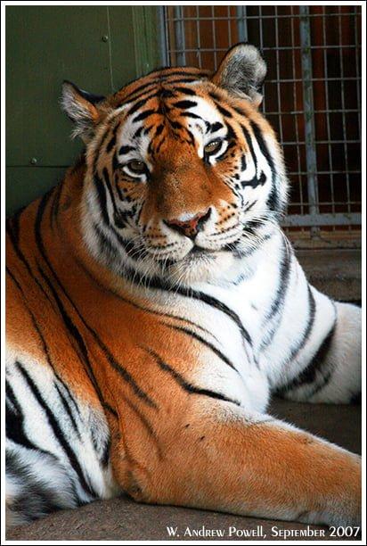 Toronto Zoo - Siberian Tiger