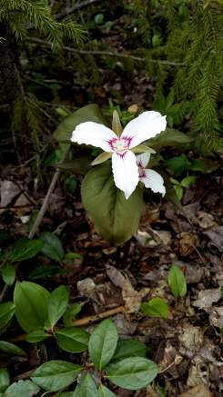Trillium in New Brunswick
