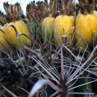 Dehydrating Barrel Cactus Fruit