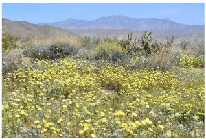 Borrego Springs, California: Wildflowers 2017