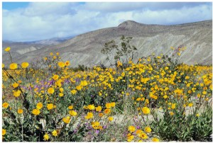 Read more about the article Wildflowers in the Desert: Borrego Springs, California – March 8, 2019